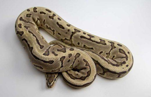 Rever Serpent