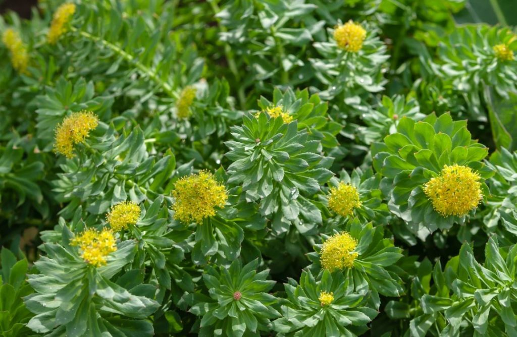Plante Medicinale Adaptogene