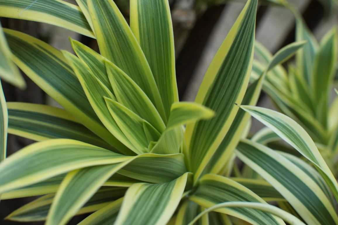 Dracanea Plante Depolluante
