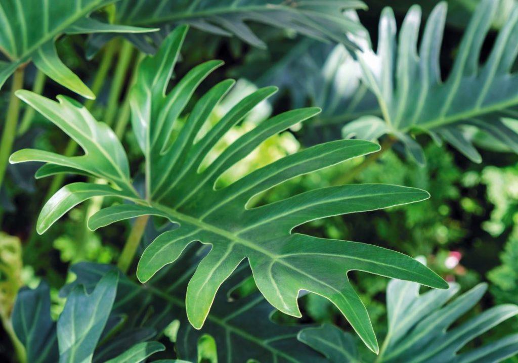 Philodendron Plante Depolluante